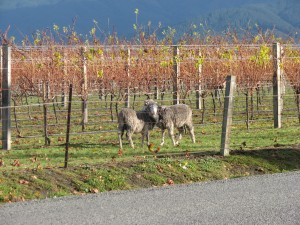 With fruit gone, sheep can be let in to 'mow' vineyard grass